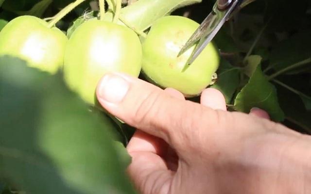 come diradare il melo